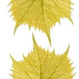 Δύο vernal βγάζουν φύλλα της κοινής αμπέλου σταφυλιών Στοκ εικόνες με δικαίωμα ελεύθερης χρήσης