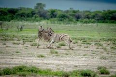 Δύο Zebras πάλη στη χλόη Στοκ Φωτογραφίες