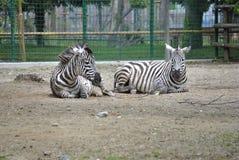 Δύο zebras πεδιάδων, ή boehmi burchelli Equus Στοκ Εικόνες