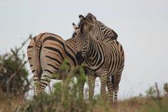 Δύο zebras που αγκαλιάζουν στο λιβάδι στη φύση στοκ εικόνα με δικαίωμα ελεύθερης χρήσης