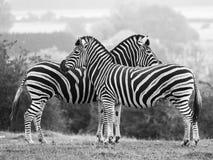 Δύο zebras, που κοιτάζουν στις αντίθετες κατευθύνσεις, φωτογράφισαν σε μονοχρωματικό στο πάρκο σαφάρι Lympne λιμένων, Ashford, Κε στοκ εικόνα με δικαίωμα ελεύθερης χρήσης