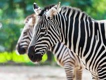 Δύο zebras που στέκονται επάνω Στοκ Φωτογραφίες