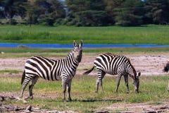 Δύο zebras στην ακτή της λίμνης Κένυα Στοκ φωτογραφία με δικαίωμα ελεύθερης χρήσης