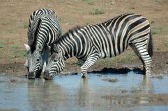 δύο zebras Στοκ φωτογραφίες με δικαίωμα ελεύθερης χρήσης