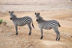 δύο zebras Στοκ Φωτογραφίες