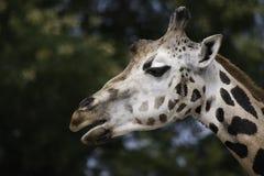 Δύση - αφρικανικός giraffe στενός επάνω Στοκ Εικόνα