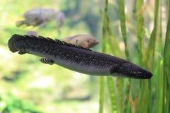 Δύση - αφρικανικό lungfish Στοκ Εικόνα