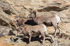 Δύσκολα πρόβατα Bighorn βουνών του Κολοράντο Στοκ Εικόνες
