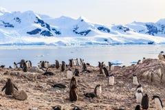 Δύσκολη ακτή με το κοπάδι του gentoo pengins και παγετώνας με το ολοκληρωμένο κύκλωμα Στοκ Φωτογραφία