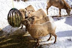 Δύσκολη σίτιση προβάτων Bighorn βουνών στοκ εικόνες