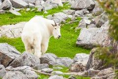 Δύσκολο βουνών εθνικό πάρκο ιασπίδων αιγών στενό επάνω Στοκ Εικόνες