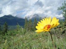 Δύσκολο λουλούδι βουνών στοκ εικόνα