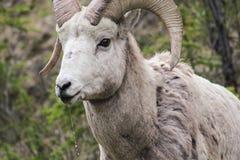 Δύσκολα βουνά bighorn στοκ φωτογραφία με δικαίωμα ελεύθερης χρήσης