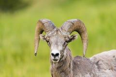 Δύσκολα μεγάλα κερασφόρα πρόβατα βουνών Στοκ εικόνες με δικαίωμα ελεύθερης χρήσης
