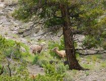 Δύσκολα πρόβατα βουνών Στοκ Φωτογραφία