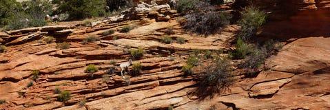 Δύσκολα πρόβατα βουνών (canadensis Ovis) που αναρριχούνται Στοκ Εικόνα
