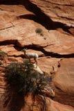 Δύσκολα πρόβατα βουνών (canadensis Ovis) που αναρριχούνται Στοκ φωτογραφία με δικαίωμα ελεύθερης χρήσης