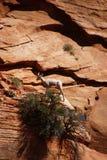 Δύσκολα πρόβατα βουνών (canadensis Ovis) που αναρριχούνται Στοκ Φωτογραφίες