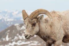 Δύσκολα πρόβατα Bighorn βουνών του Κολοράντο Στοκ φωτογραφίες με δικαίωμα ελεύθερης χρήσης