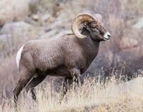 Δύσκολα πρόβατα Bighorn βουνών του Κολοράντο Στοκ εικόνα με δικαίωμα ελεύθερης χρήσης