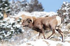 Δύσκολα πρόβατα Bighorn βουνών του Κολοράντο Στοκ φωτογραφία με δικαίωμα ελεύθερης χρήσης