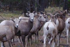 Δύσκολα πρόβατα Bighorn βουνών, canadensis Στοκ φωτογραφία με δικαίωμα ελεύθερης χρήσης
