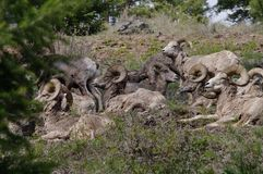 Δύσκολα πρόβατα Bighorn βουνών, canadensis Στοκ Εικόνες