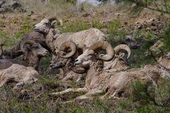Δύσκολα πρόβατα Bighorn βουνών, canadensis Στοκ εικόνα με δικαίωμα ελεύθερης χρήσης
