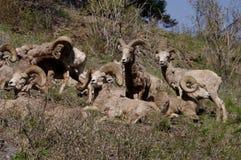 Δύσκολα πρόβατα Bighorn βουνών, canadensis Στοκ φωτογραφίες με δικαίωμα ελεύθερης χρήσης