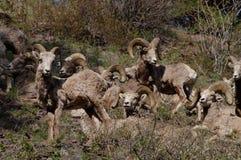 Δύσκολα πρόβατα Bighorn βουνών, canadensis Στοκ εικόνες με δικαίωμα ελεύθερης χρήσης