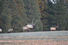 Δύσκολες άλκες του Bull βουνών Στοκ Εικόνες