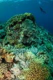 Δύτες, κοράλλι δέρματος μανιταριών σε Banda, υποβρύχια φωτογραφία της Ινδονησίας Στοκ Εικόνα