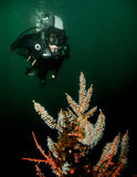 Δύτης και κοράλλι στο κρύο νερό Στοκ Φωτογραφίες