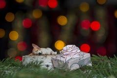 Δώρο με ένα τόξο στο οποίο το σκυλί κοιμάται στους κομψούς κλάδους σε ένα κλίμα των κίτρινων και κόκκινων φω'των bokeh Στοκ φωτογραφία με δικαίωμα ελεύθερης χρήσης
