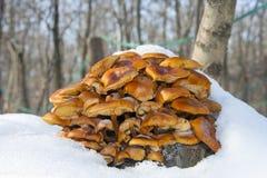 Δ enokitake ή χρυσό μανιτάρι βελόνων (Flammulina velutipes) Στοκ εικόνα με δικαίωμα ελεύθερης χρήσης