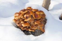 Δ enokitake ή χρυσό μανιτάρι βελόνων (Flammulina velutipes) Στοκ Εικόνες
