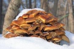 Δ enokitake ή χρυσό μανιτάρι βελόνων (Flammulina velutipes) Στοκ Εικόνα