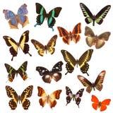είδη πεταλούδων Στοκ Εικόνες
