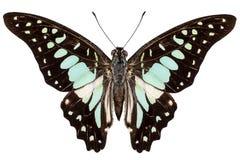 Είδη Graphium πεταλούδων bathycles Στοκ Εικόνες
