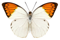 Είδη Hebomoia πεταλούδων glaucippe Στοκ φωτογραφία με δικαίωμα ελεύθερης χρήσης