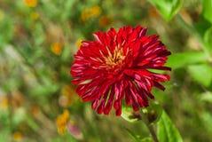 Είδος ενός λουλουδιού αστέρων στοκ εικόνες
