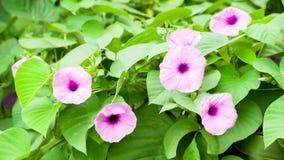 Είναι γνωστό ως λουλούδια του Mike στοκ εικόνες