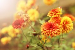 Είναι πορτοκαλιά λουλούδια Στοκ εικόνες με δικαίωμα ελεύθερης χρήσης
