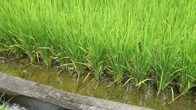 Είναι τομέας ρυζιού του καλοκαιριού στην Ιαπωνία απόθεμα βίντεο