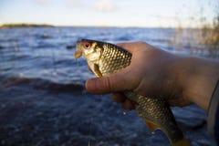 Είναι τώρα πιασμένο καλό roach Στοκ φωτογραφίες με δικαίωμα ελεύθερης χρήσης