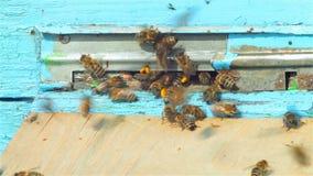 Είσοδος κυψελών - μέλισσα που φέρνει την κίτρινη γύρη απόθεμα βίντεο