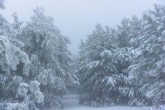 Είσοδος στο χιονώδες δασικό αλσύλλιο πεύκων Ρωσία, Stary Krym Στοκ φωτογραφίες με δικαίωμα ελεύθερης χρήσης