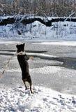 Είδος rottweiler Στοκ Φωτογραφία