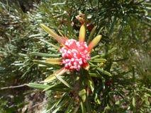 Εγγενές λουλούδι Στοκ Εικόνες