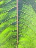 Εγγενές φύλλο Milkweed Στοκ Εικόνες